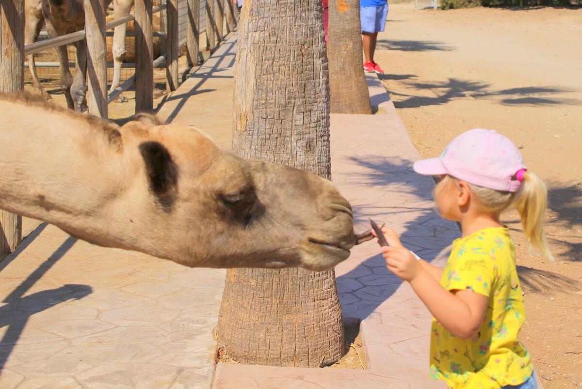 Camel Park - tu rządzą wielbłądy i dzieci